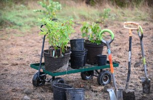 Trees and shovels: ready for planting