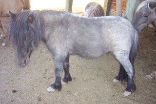mini-horse1