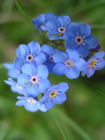 Albastrele - flori de munte