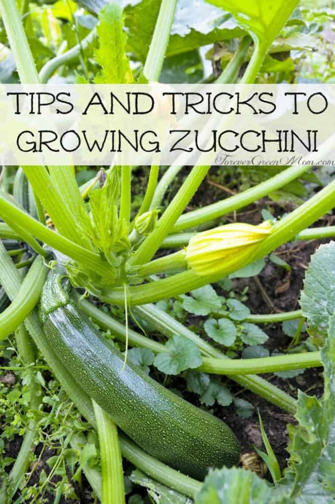 Tips and Tricks to Growing Zucchini