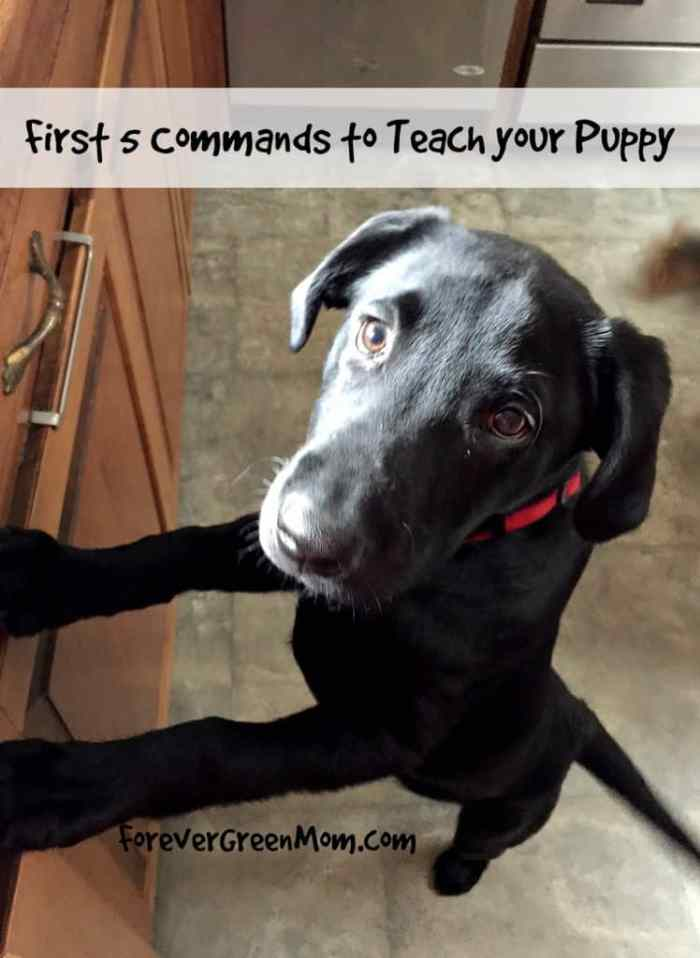 First 5 Commands to Teach Your Puppy