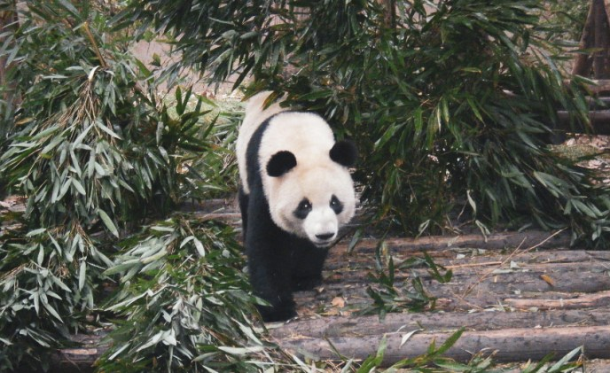 Visiting The Chengdu Panda Research Base Forever Lost In Travel