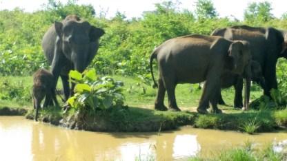 elephant-sri lanka