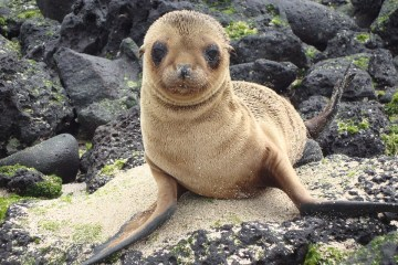 galapagos-baby-sea-lion