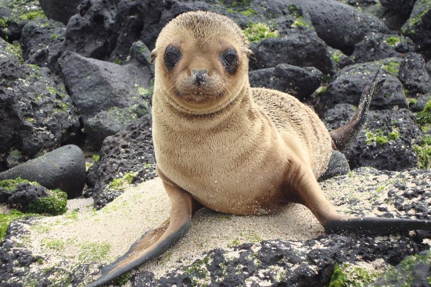 galapagos-baby-sea-lion