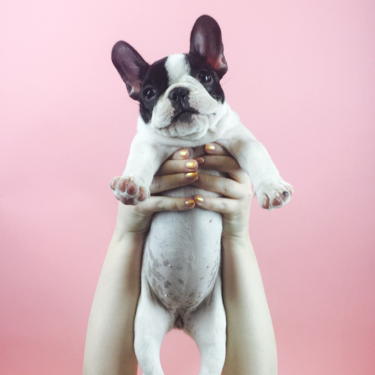Reasons why I chose a French Bulldog - Forever Yours Frenchie