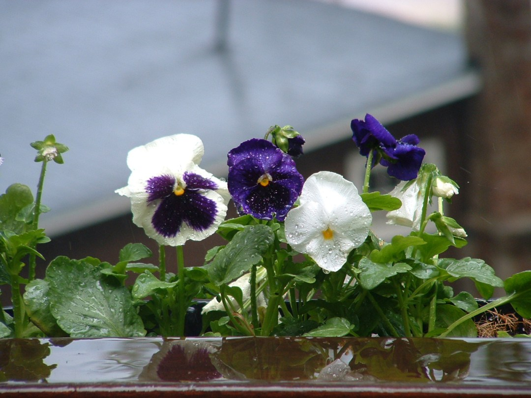 Pansies in the Rain