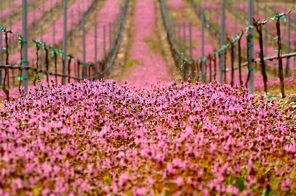 A Splash of Color in the Vineyards