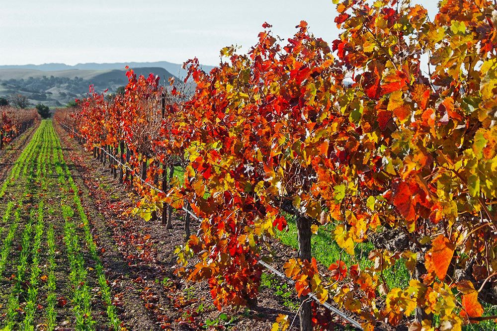 Colorful Firestone Vineyards