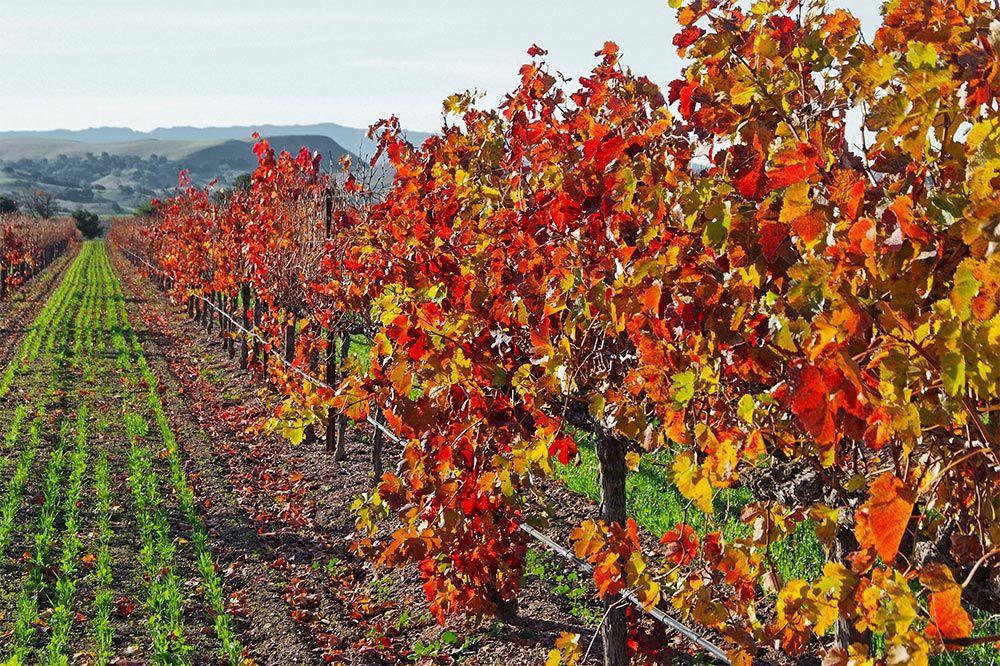 Colorful Firestone Vineyards