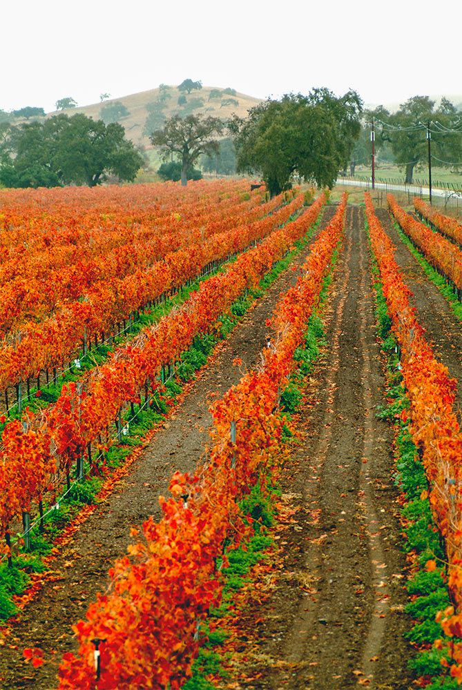 Vineyards Ablaze with Fall Colors