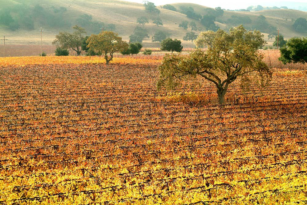 Winter Santa Ynez Vineyard