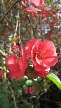 flowering quince in a red color