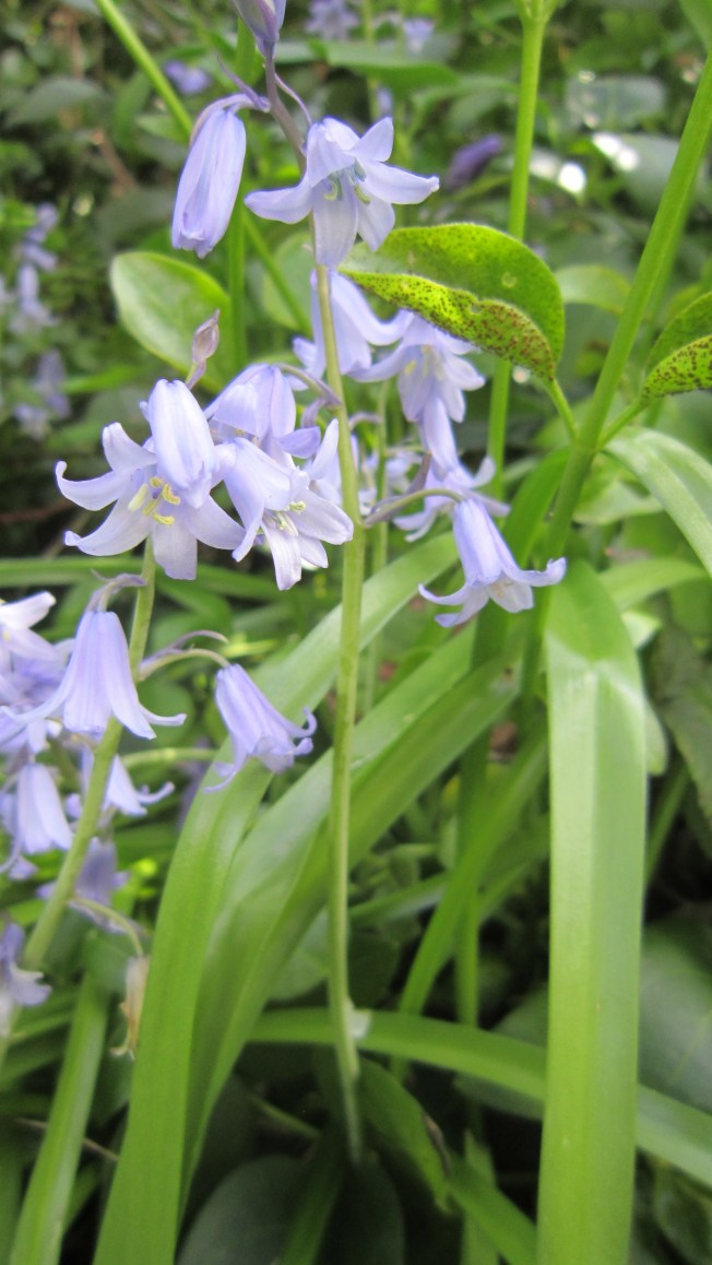 I think these are wood hyacinth, or blue bells...