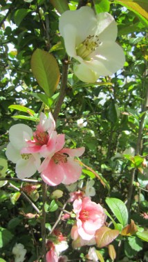 flower quince in light pink