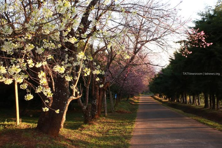Where the Wild Himalayan Cherry Blossoms Are: Khun Wang Royal Project Development Centre