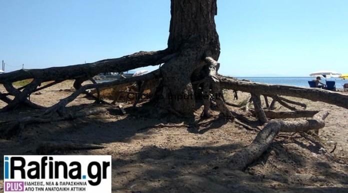 Αρτέμιδα:-Τα-πεύκα-της-παραλίας-έτοιμα-να-ξεριζωθούν!-(φωτό)