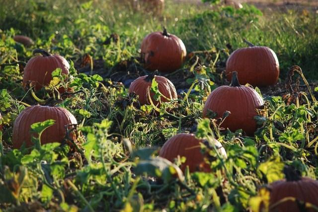 Pumpkin Patch - Field 3