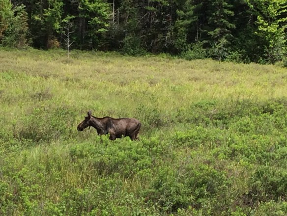 moose jam s