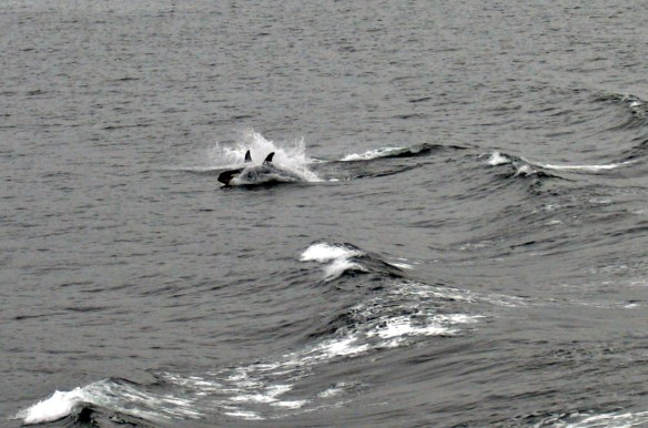 orcas playing in wake Alaska