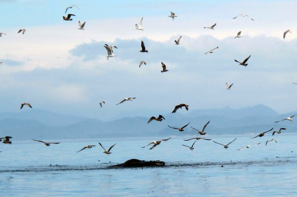 whale disturbs the gulls Gone Fishin' Knight Inlet BC