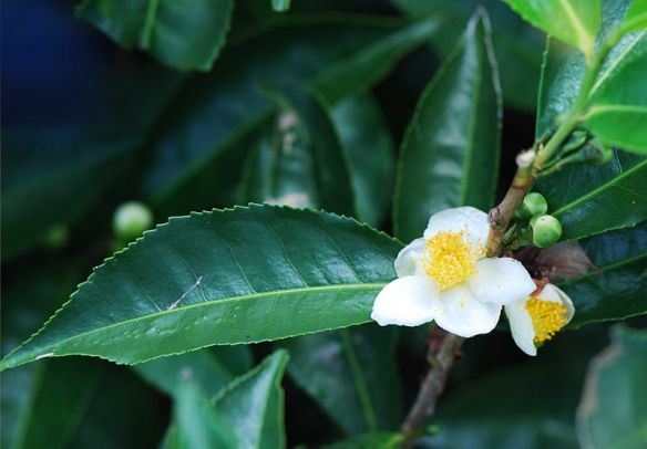 tea plant - Feeling tired, sad, upset, cold, in need of a lift? Have a cuppa! In much of the world the answer to all these isa cup of tea – the universal panacea for all ills.