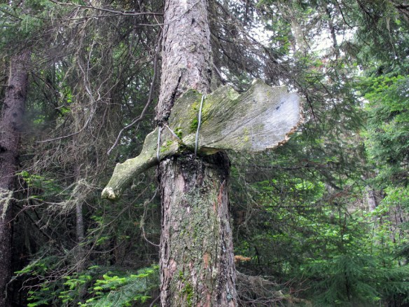 moose antler attached to tree In search of a Legend - Grey Owl