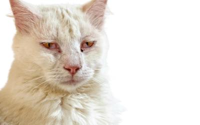 Herpesvirus felino (FHV-1), la enfermedad respiratoria de vías altas, más común en gatos.