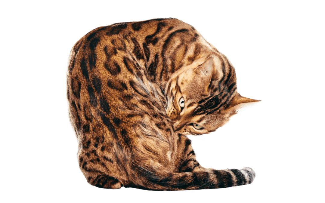 Gatos híbridos: conoce las 3 razas más populares.