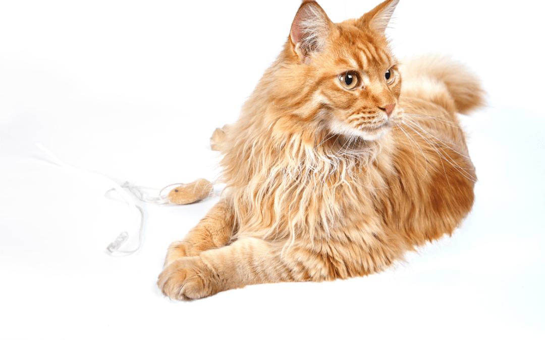 Cuidados del gato maine coon