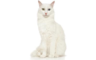 Gato Angora Turco: guía completa para amantes de la raza.