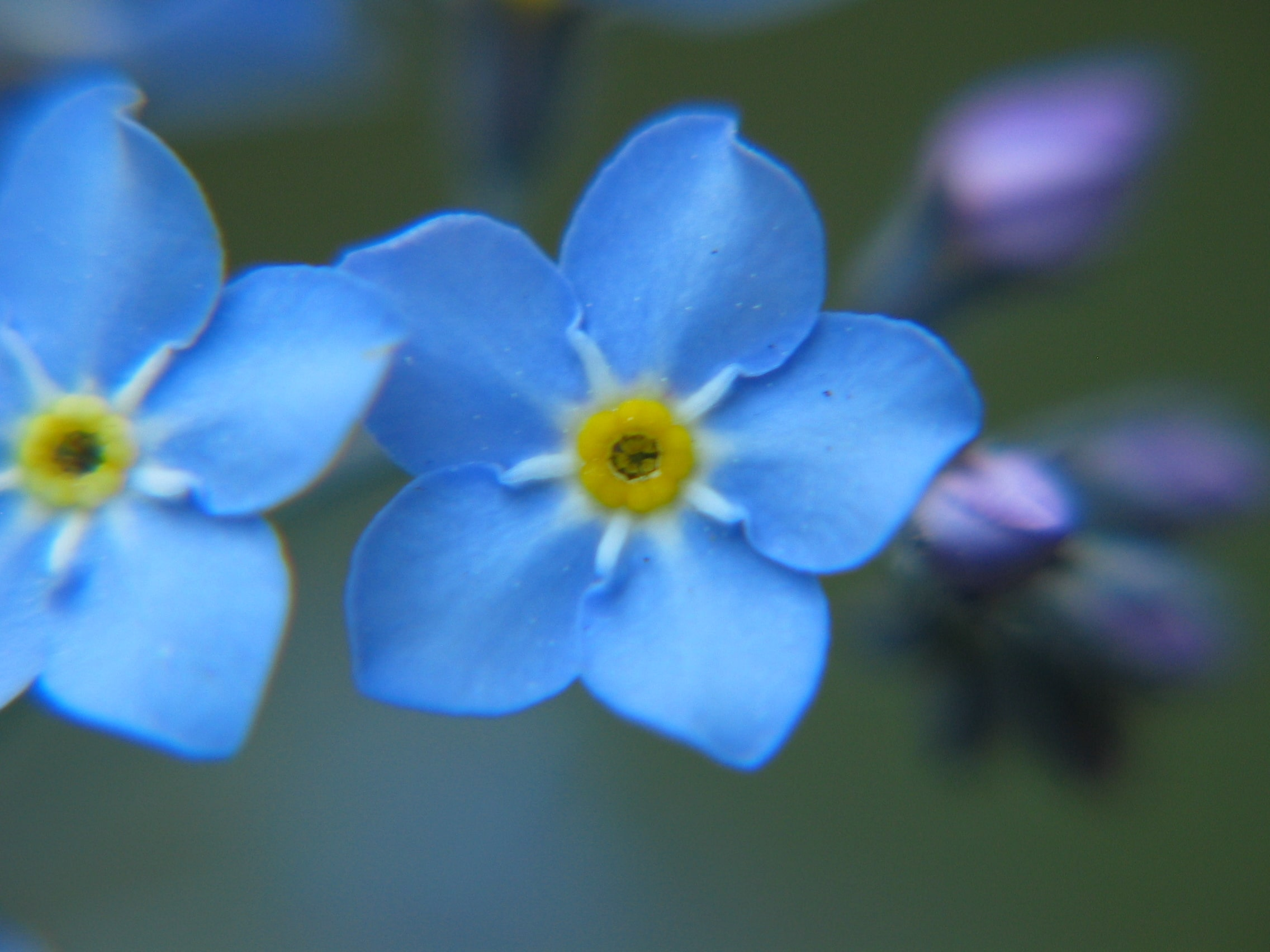 Forget me not closeup 2005 01