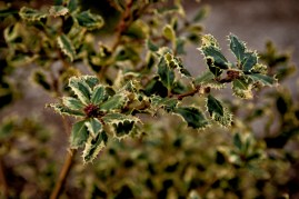 variegated holly