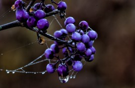 Callicarpa bodinieri (Beauty Bush) 'Profusion', graced with gossamer on a winter morning.