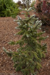 Picea pungens 'Thomsen'