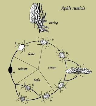 Aphis rumicis