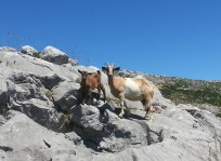 Some passing goats