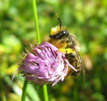 male Megachile on Erigeron
