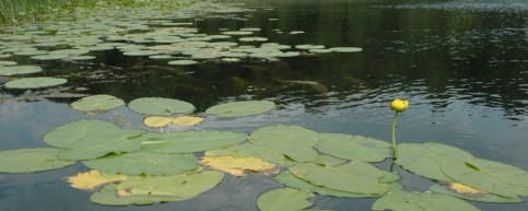 Lily Pads on Wing Haven's Little Gentian Lake, photo courtesy ACRES Land Trust
