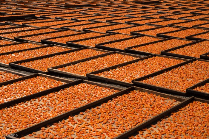 Drying trays filled with apricots