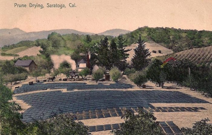 Prunes drying in Saratoga Postcard