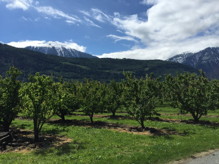 View of Swiss apricot orchard with Alps in the background