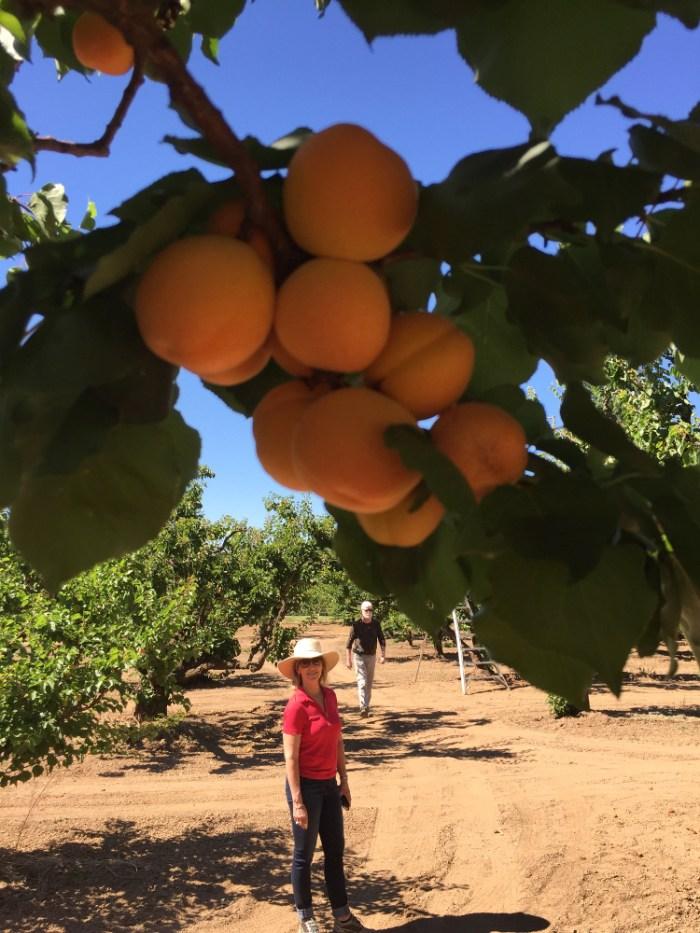 Harvest Time at Novakovich Orchards
