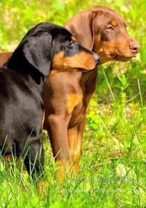 Doberman Health