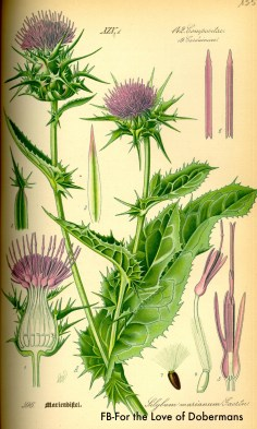 Milk Thistle for your dog