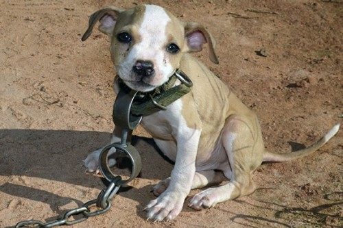 dogfighting pup 500x333 Pitbull Dog Fights To The Death