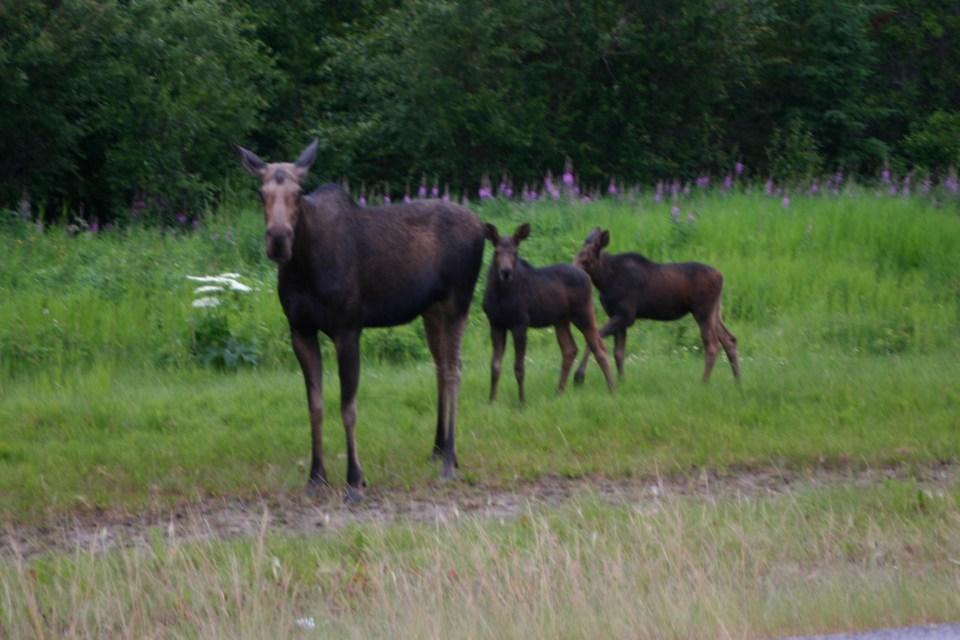 A Moose Cow and Calves
