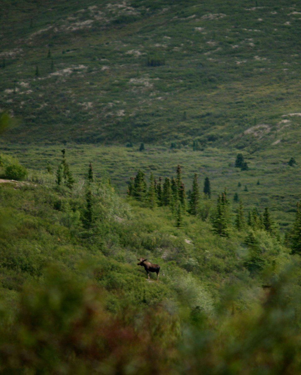 Denali National Park: Bull Moose