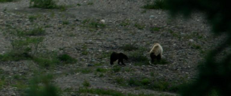 Denali National Park: Grizzlies