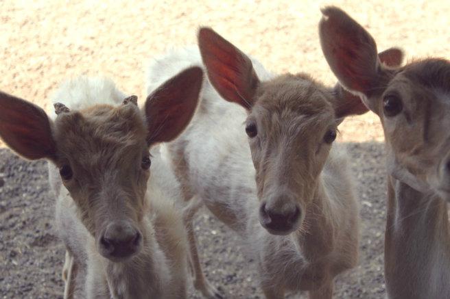 Ungulates-Safari-Park-Deer-1